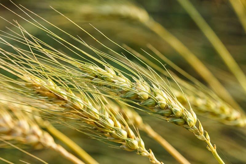Trigo maduro que crece en un campo de trigo imagen de archivo libre de regalías