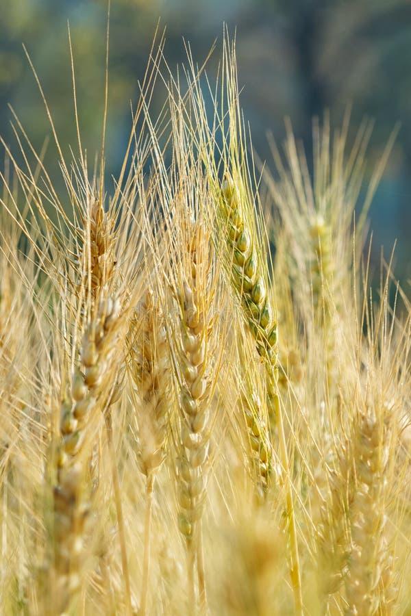 Trigo maduro que crece en un campo de trigo fotos de archivo