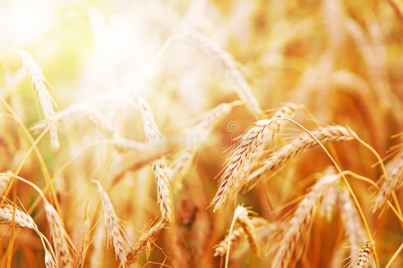 Trigo na luz solar adiantada imagem de stock