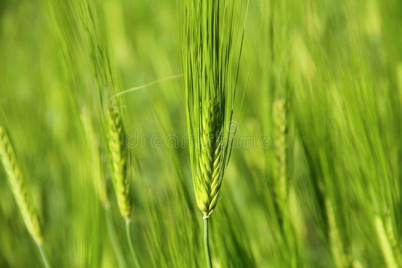 Trigo novo verde imagem de stock