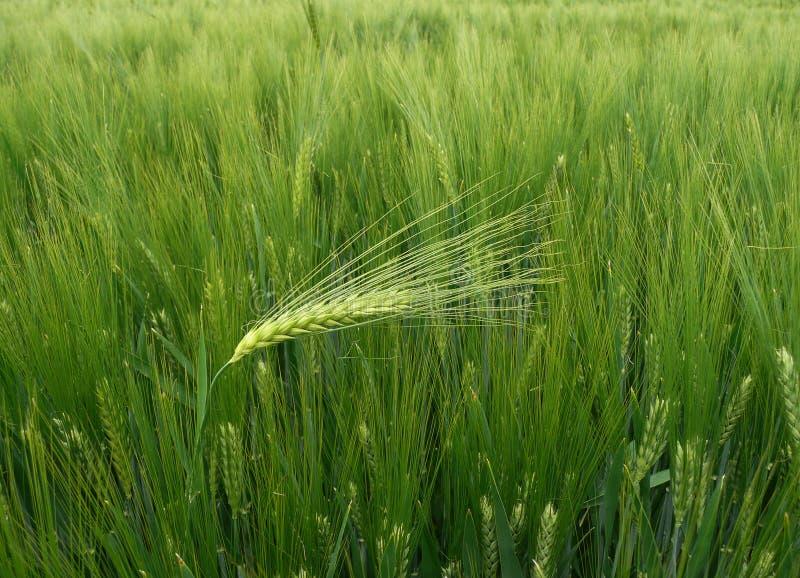 Trigo - oído de la cebada contra el viento fotos de archivo
