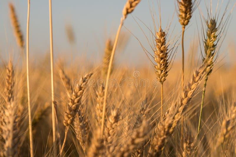 Trigo pelo campo O trigo fotografia de stock