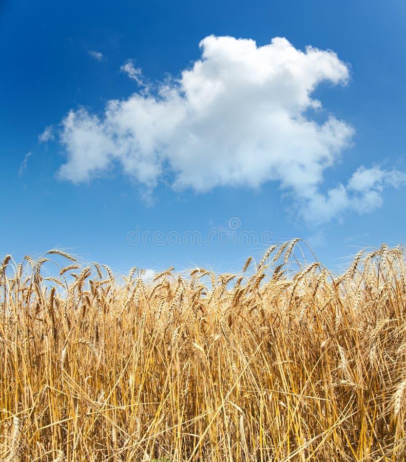 Download Trigo sob o céu foto de stock. Imagem de grão, campo - 16851674