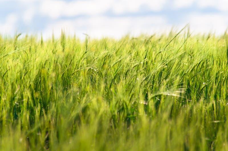 Trigo verde del verano imagen de archivo libre de regalías
