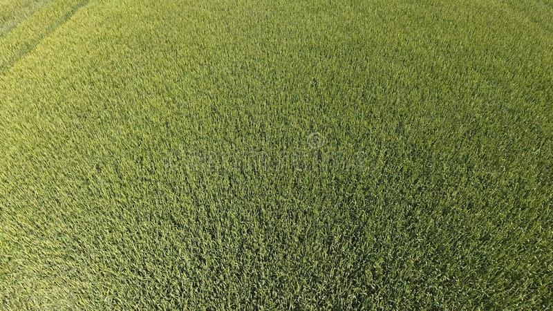 Trigo verde en el campo, visión superior con un abejón Textura del fondo del verde del trigo imágenes de archivo libres de regalías