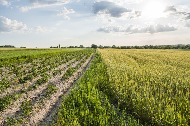 Trigo verde joven en campos y la patata hermosos de grano que crece cerca Los oídos del trigo están croando Agricultura imagenes de archivo