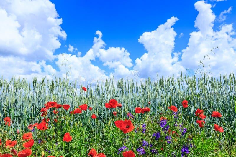 Trigo verde no campo Céu azul com nuvens de cumulus Paisagem mágica do verão As flores das papoilas de junho ao redor imagem de stock royalty free