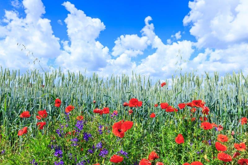Trigo verde no campo Céu azul com nuvens de cumulus SU mágica fotos de stock