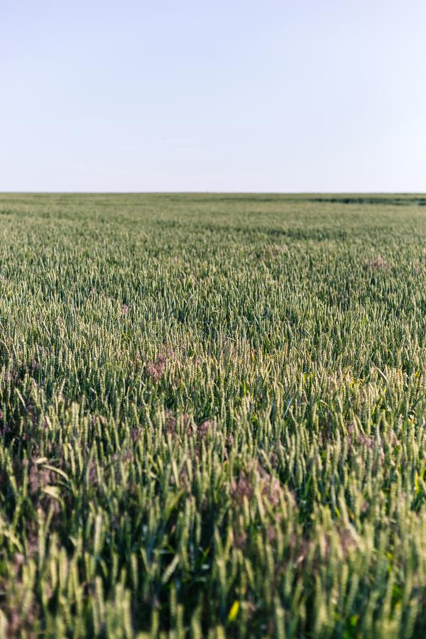 Trigo verde no campo Planta, natureza, centeio imagens de stock