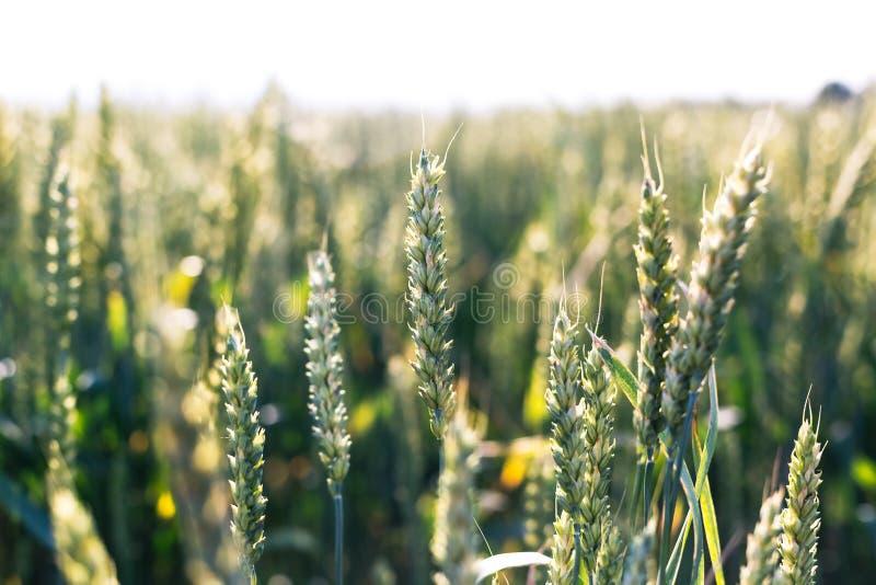 Trigo verde no campo Planta, natureza, centeio fotografia de stock