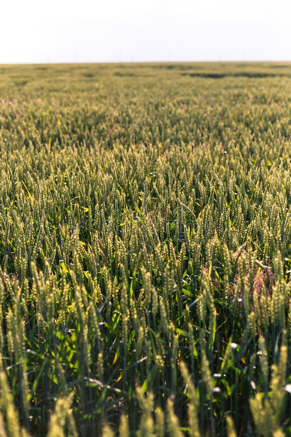 Trigo verde no campo Planta, natureza, centeio foto de stock royalty free