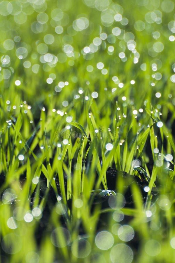 Trigo verde que crece con rocío fotos de archivo