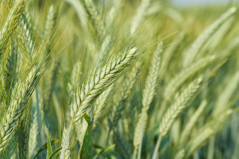 Trigo verde que crece en un campo de trigo imagen de archivo