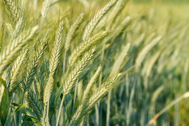 Trigo verde que crece en un campo de trigo fotos de archivo