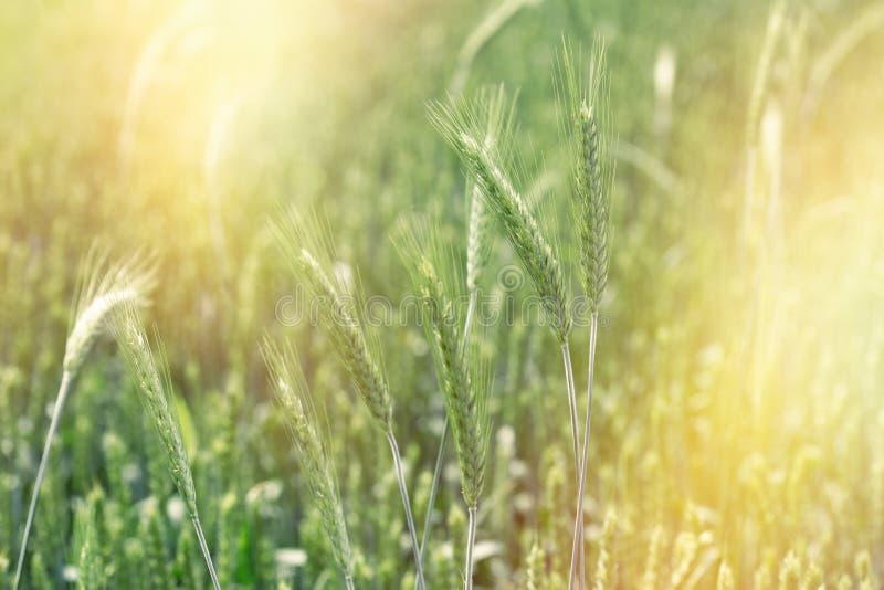 Trigo verde sin madurar, este campo agrícola promete una buena cosecha fotos de archivo