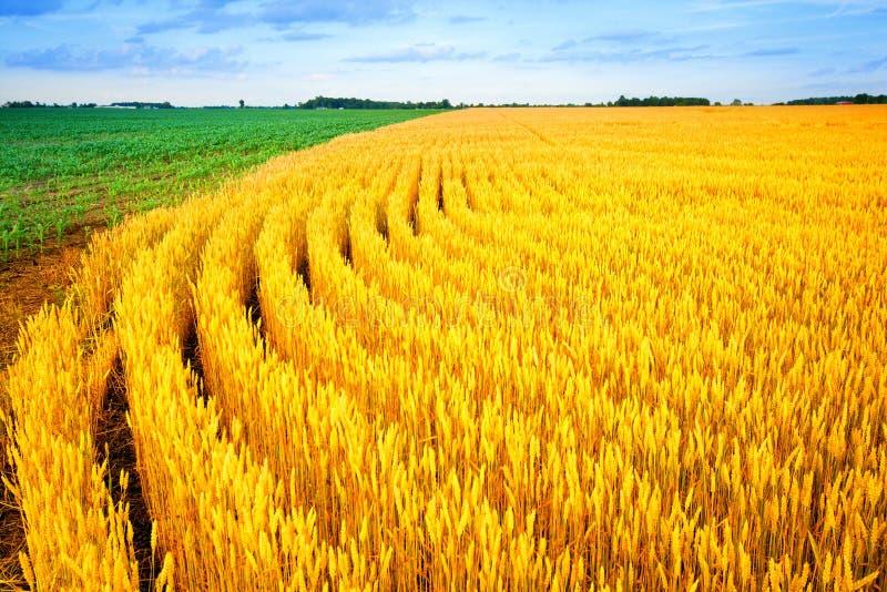 Trigo y maíz fotos de archivo