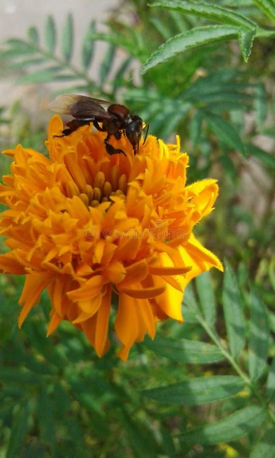 Trigona και λουλούδι στοκ φωτογραφία με δικαίωμα ελεύθερης χρήσης