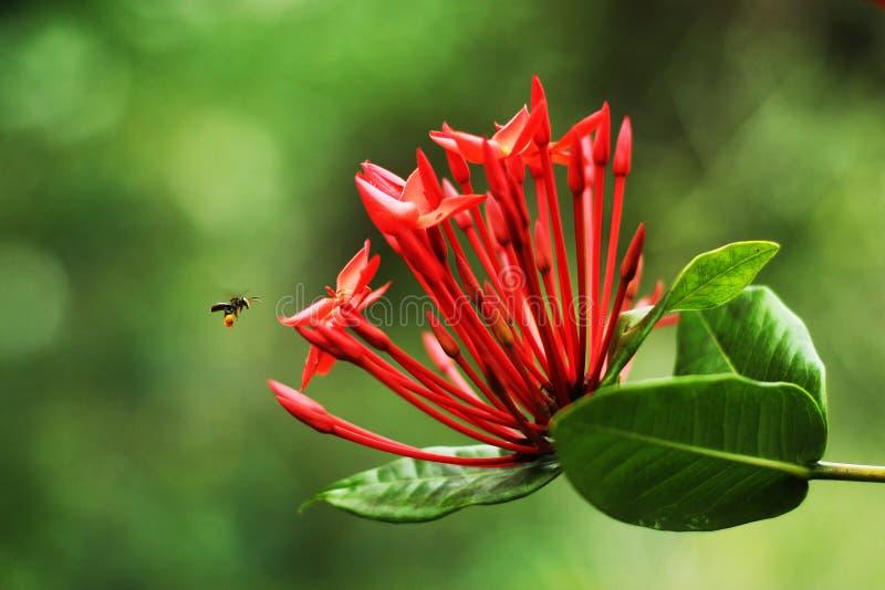 Trigona pszczoła znajduje pszczoły pollen zdjęcie stock
