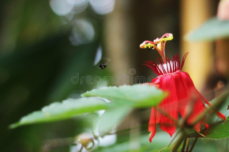 Trigona znaleziska pszczoła polen zdjęcie royalty free