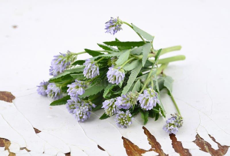 Trigonella foenum-graecum stockfotografie