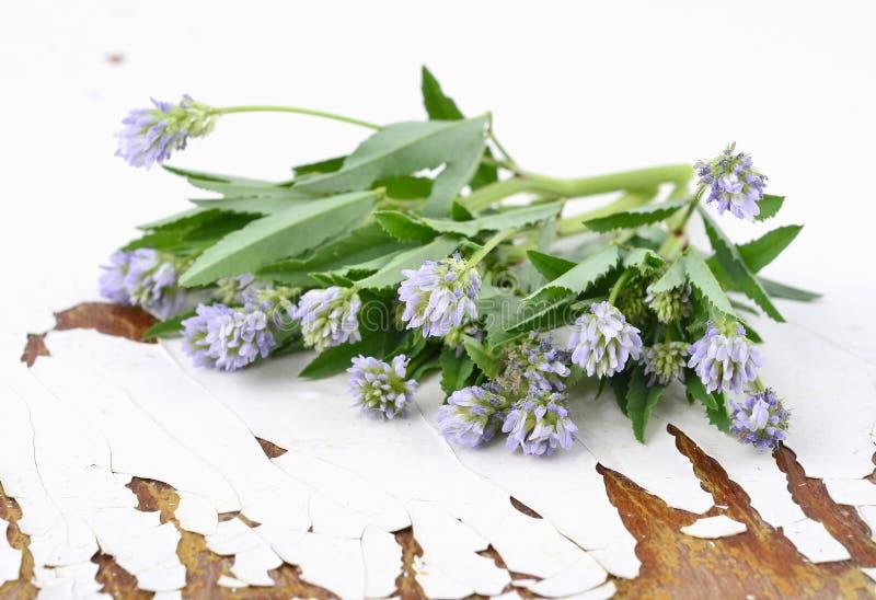 Trigonella foenum-graecum stockfotos