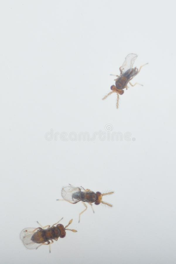 Trikhogramma — the family of parasitic equestrians-yaytseedov. Trikhogramma`s size is 0,3-0,5mm. The struck eggs of a plant louse Trikhogramma royalty free stock photos