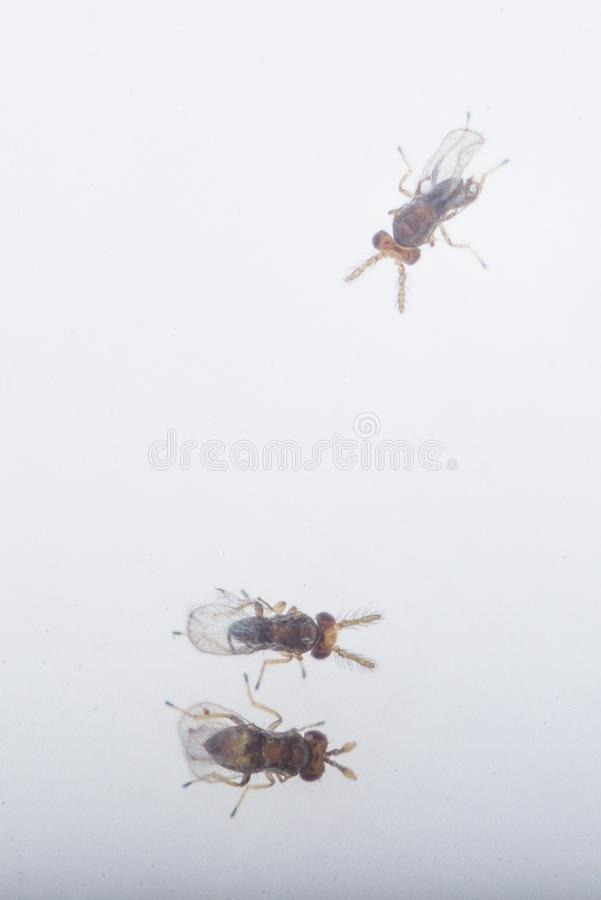 Trikhogramma — the family of parasitic equestrians-yaytseedov. Trikhogramma`s size is 0,3-0,5mm. The struck eggs of a plant louse Trikhogramma stock photo