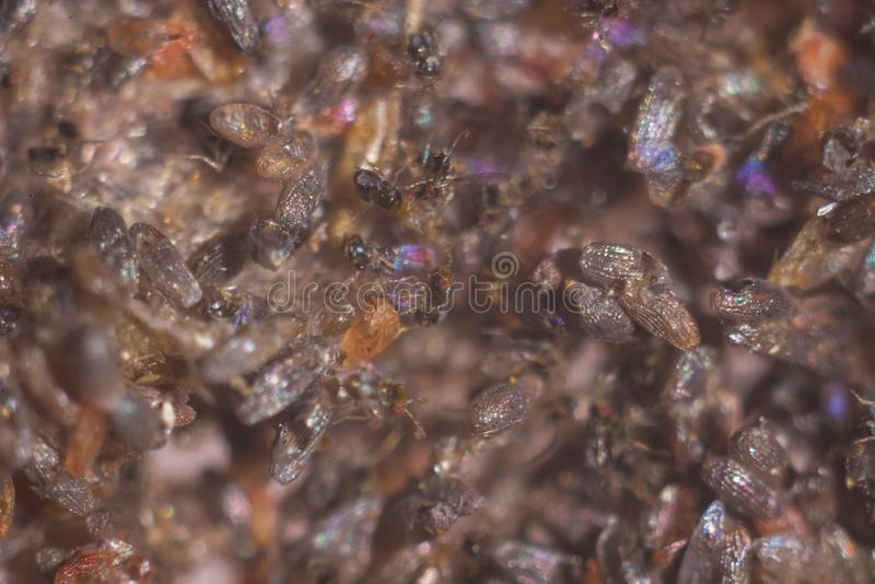 Trikhogramma — the family of parasitic equestrians-yaytseedov. Trikhogramma`s size is 0,3-0,5mm. The struck eggs of a plant louse Trikhogramma royalty free stock image