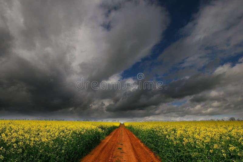 Trilha através do campo de flor do Rapeseed fotos de stock