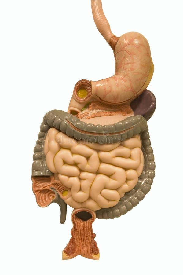 Trilha digestiva - com trajeto de grampeamento foto de stock