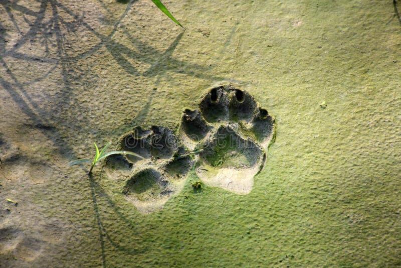 Trilhas do cão em lama rachada foto de stock
