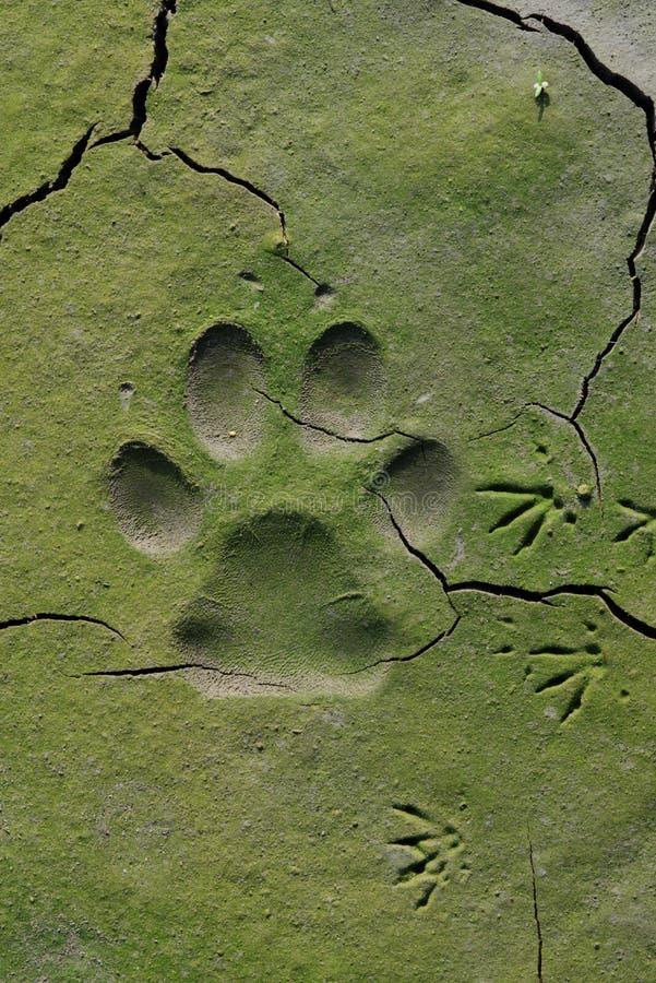 Trilhas do cão em lama rachada imagem de stock royalty free