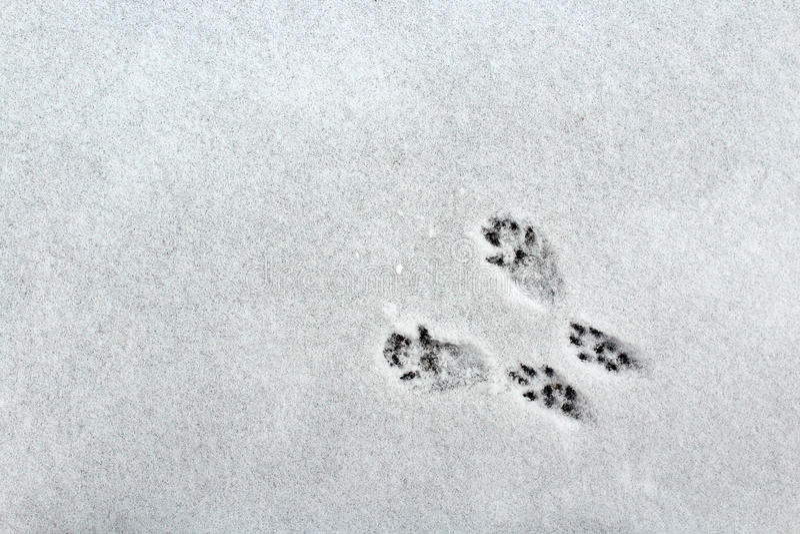 Trilhas do esquilo na neve imagens de stock