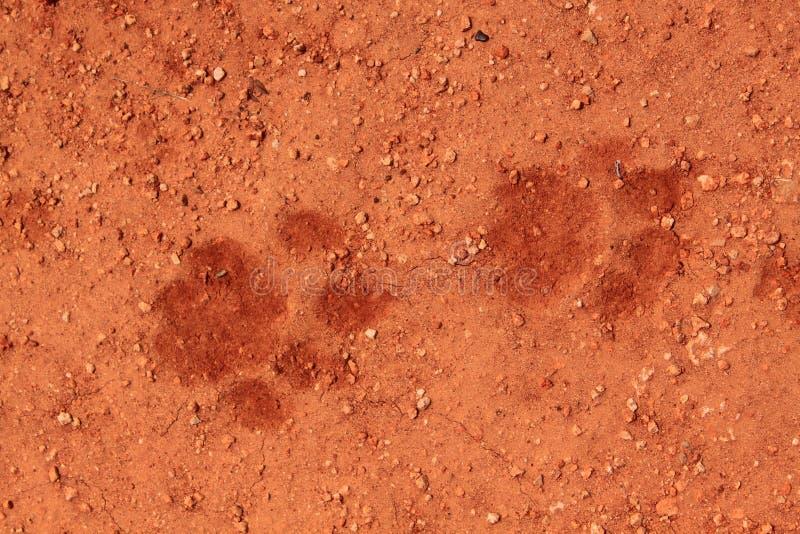 Trilhas do leão na areia imagem de stock