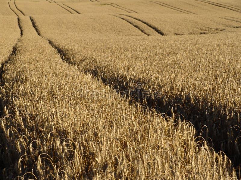 Trilhas do trigo fotografia de stock