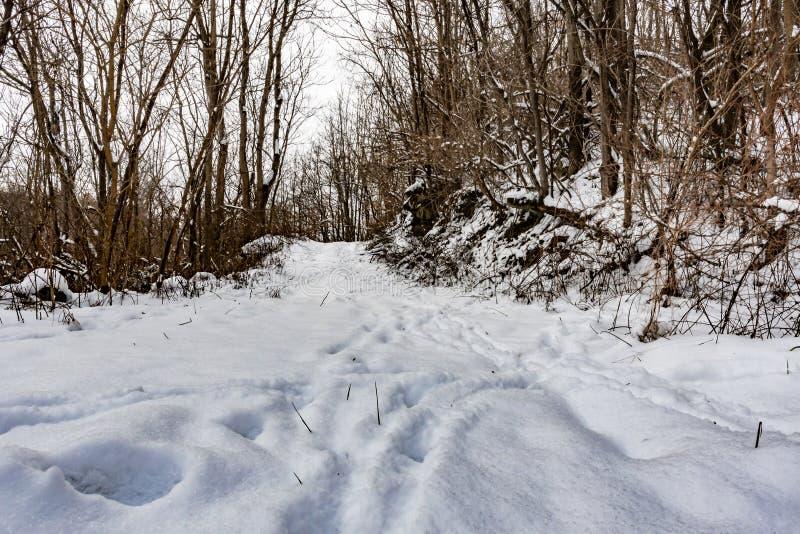 Trilhas dos cervos do baixo ângulo na neve no trajeto nas madeiras imagens de stock royalty free