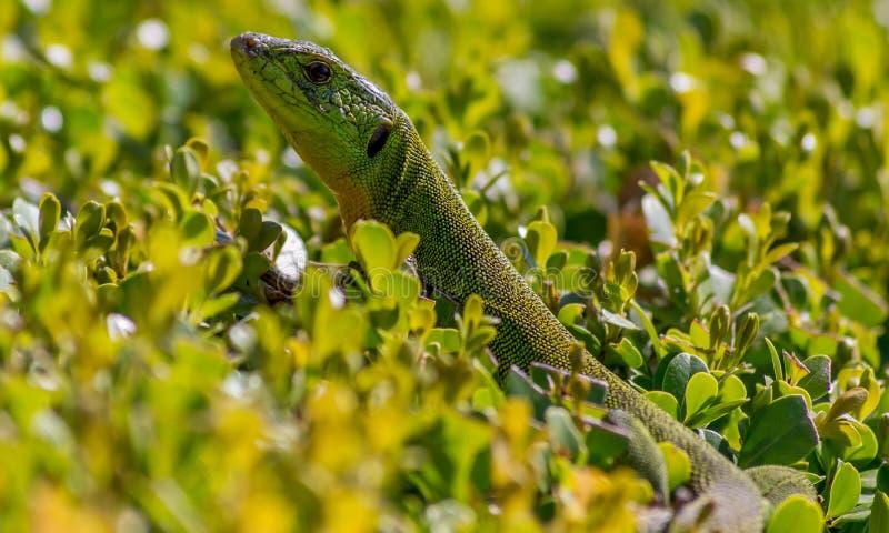 Trilineata balkanique de Lacerta de lézard vert photos stock