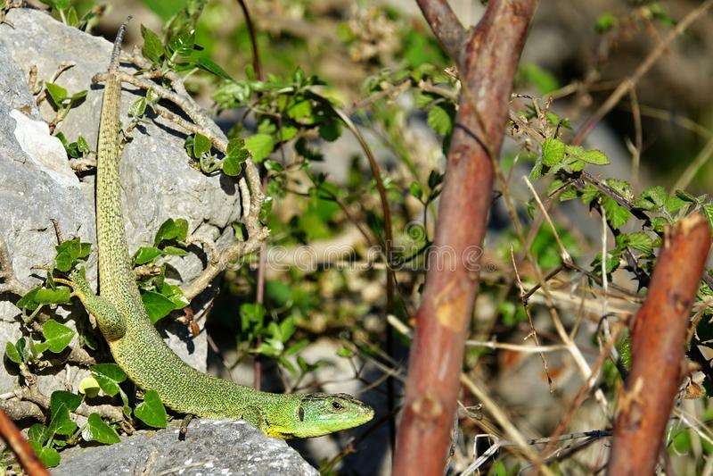 Trilineata de Lacerta dans l'habitat photos stock