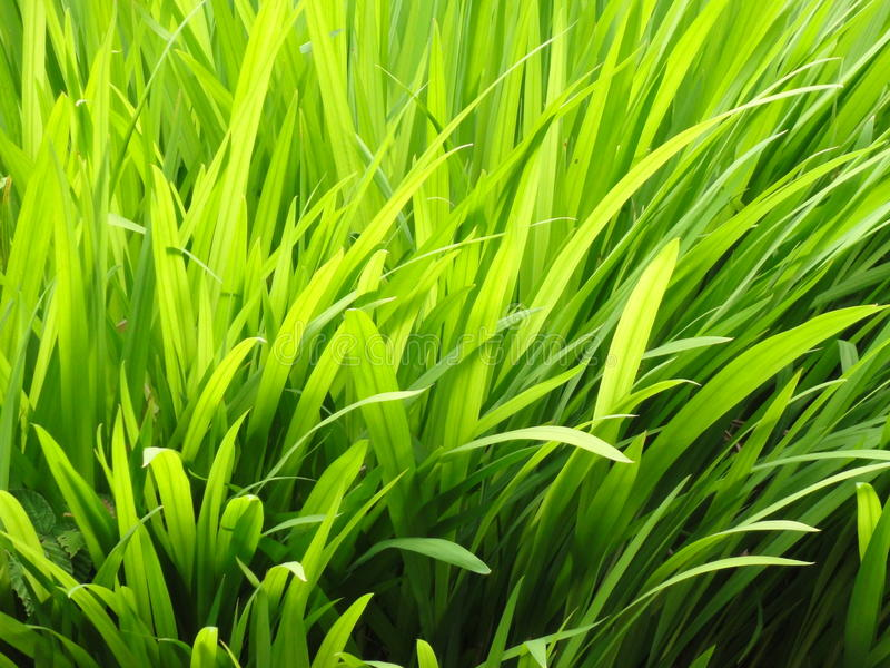 Trillend Gras royalty-vrije stock fotografie