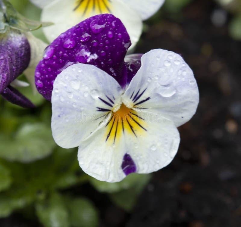 Trillend viooltje stock fotografie