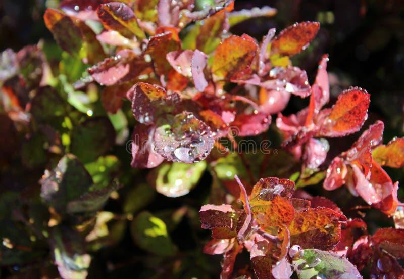 Trillende dalingskleur van bergbosbessen stock fotografie