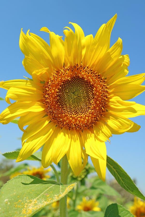 Trillende Gele Bloeiende Zonnebloem met Blauw Sunny Sky op Achtergrond royalty-vrije stock afbeeldingen