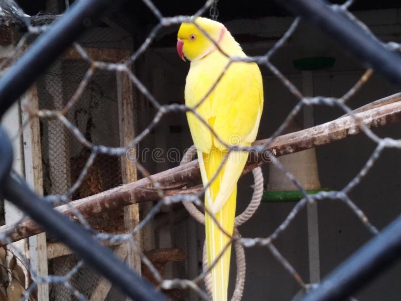 Trillende gele papegaaivogel royalty-vrije stock fotografie