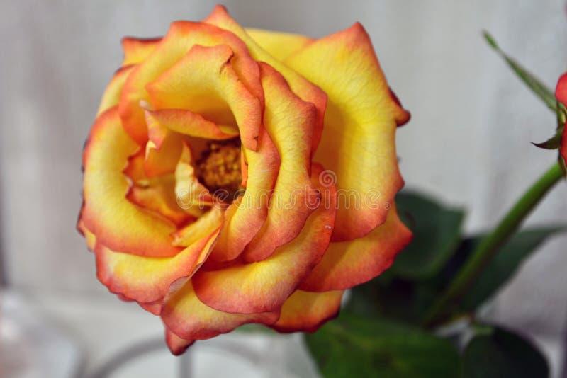Trillende gele rozen stock foto