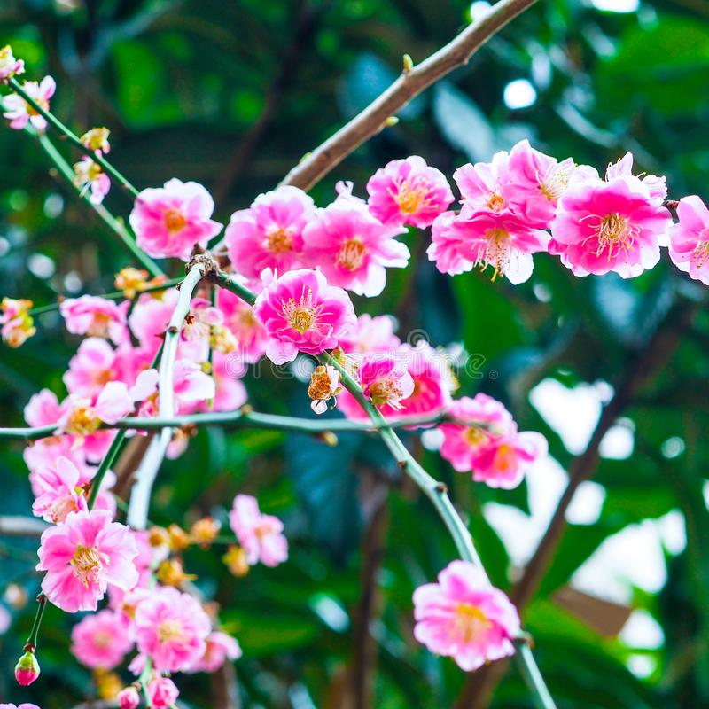 Trillende heldere roze de lentebloesems in Japan royalty-vrije stock afbeeldingen