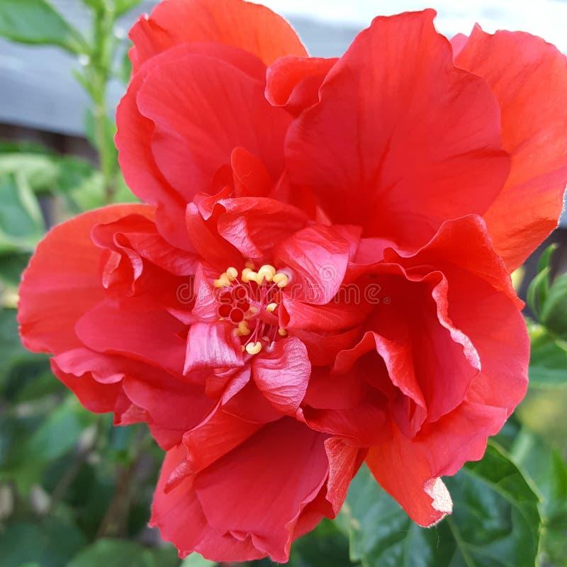 Trillende Hibiscus stock foto's