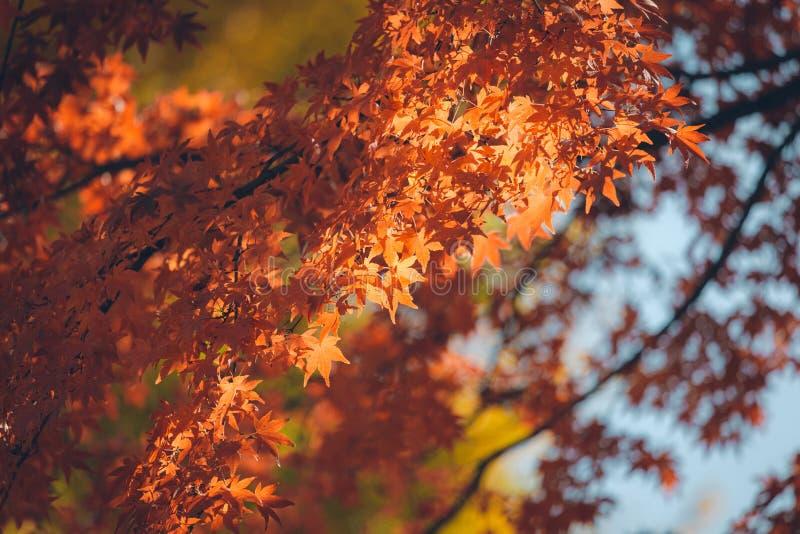Trillende Japanse Autumn Maple-bladeren stock fotografie