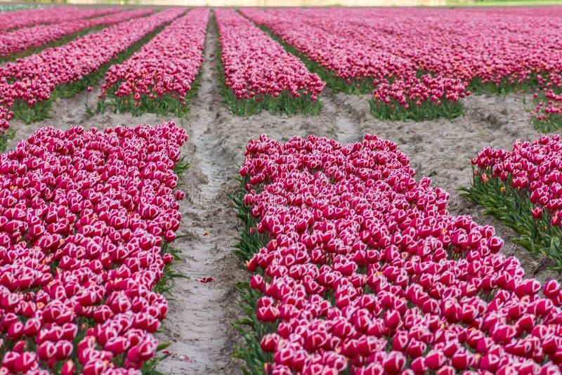 Trillende kleurrijke tulpenbloemen op Nederlands gebied stock afbeelding