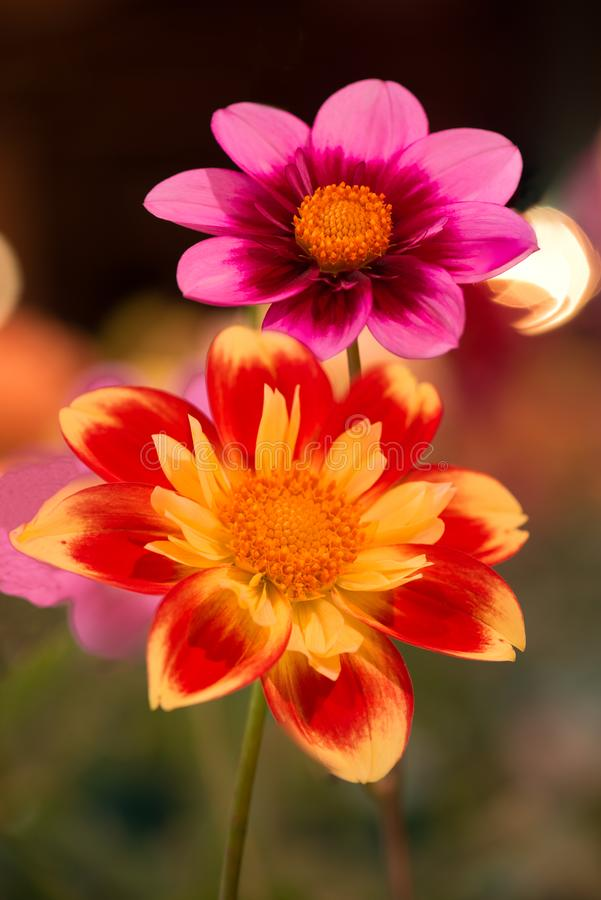 Trillende oranje en gele roze en rode kleurendahila royalty-vrije stock foto's