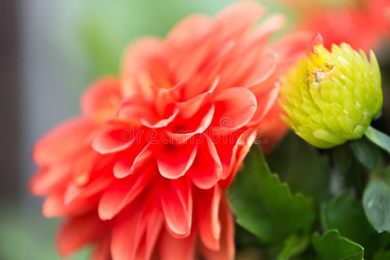 Trillende Rode Dahlia Flower stock foto
